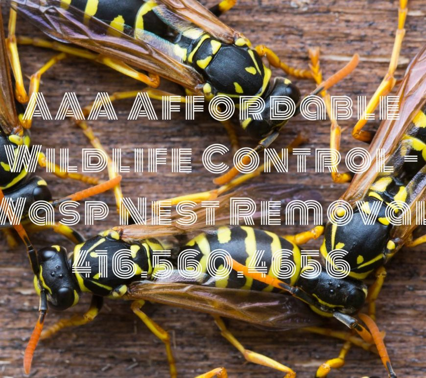 Wasp Nest Removal - Affordable Wildlife Control