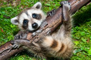 When Do Raccoons, Squirrels & Skunks Mate, Give Birth & Raise Babies?