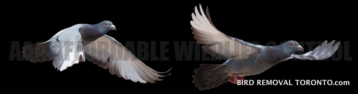 BIRD CONTROL TORONTO - Pigeon Spikes Installation