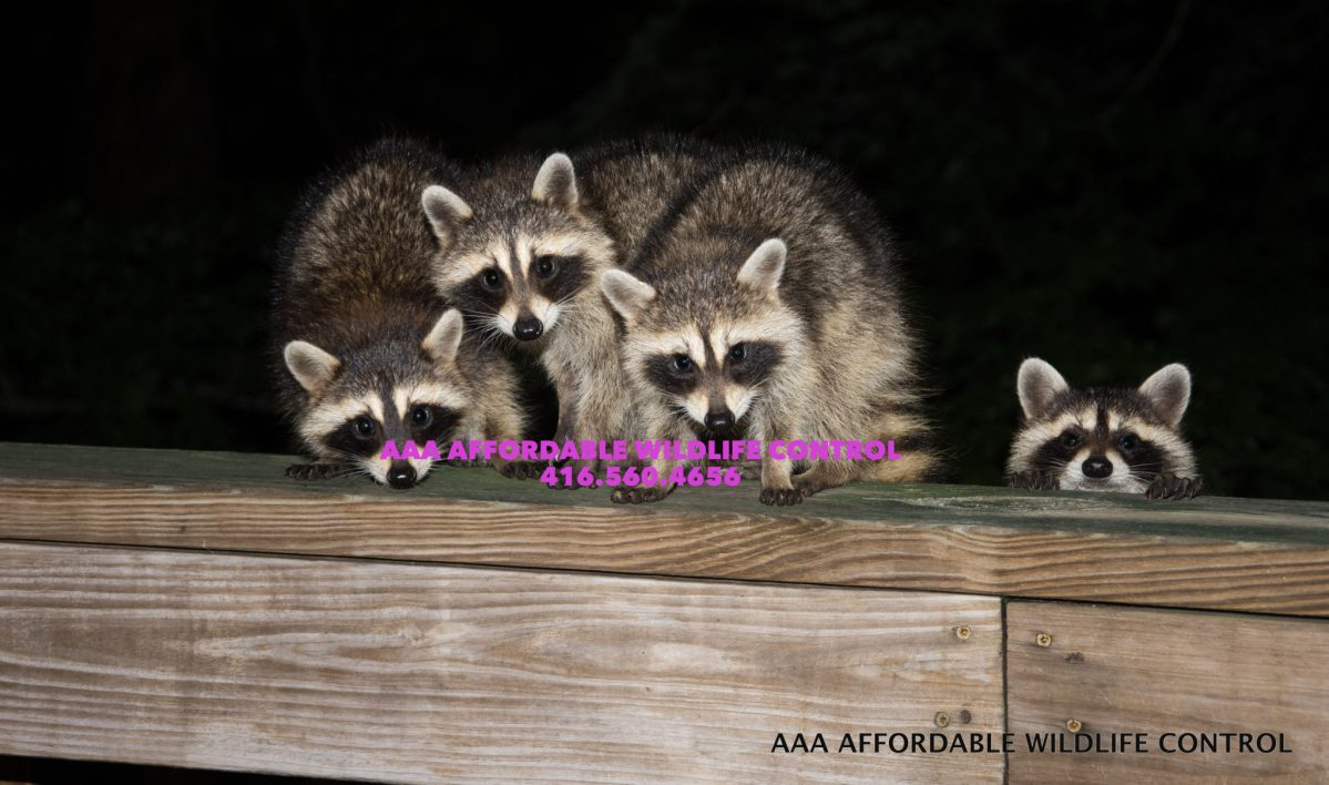 Raccoon Removal Markham - Affordable Wildlife Removal