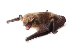 bat removal toronto - Bat Control