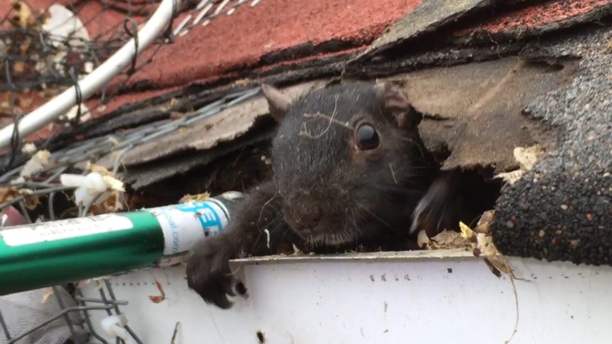 Humane Squirrel Removal from Pickering Homes