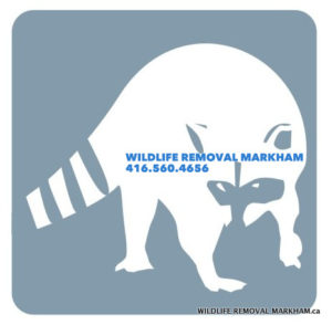 Raccoon Removal Markham - Wildlife Control Services in Markham