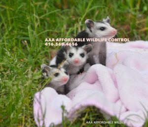 Opossum Baby Removal