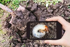 Grub larvae, skunk removal - Skunks & Raccoons Digging Grass