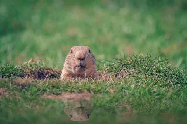 Wildlife Control - Groundhog Removal