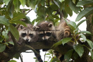 Raccoon Removal Tips - Never Ignore a Raccoon Sighting