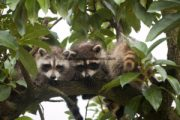 Raccoon Prevention Tips
