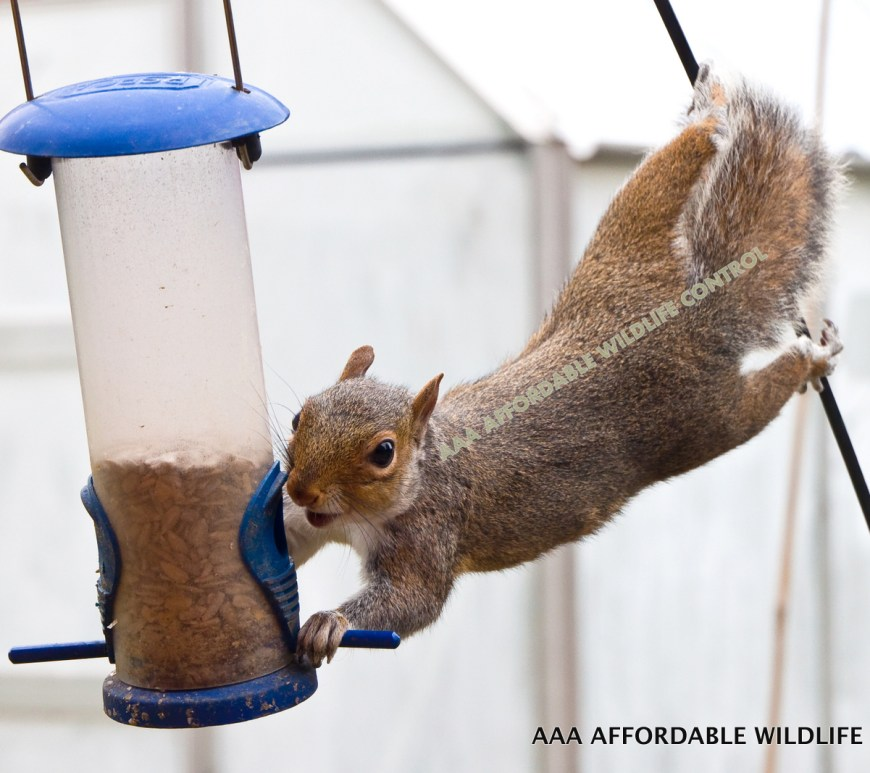 HOW TO DETER SQUIRRELS in toronto - squirrel removal