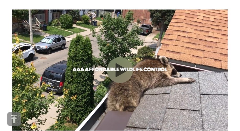 Wildlife Control Racoon Removal From Attic in Toronto