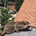 Raccoon Removal Videos - Racoon Control Toronto - Affordable Wildlife Control Services