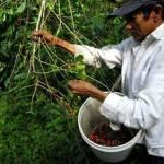 Aumenta 60% crédito de gobierno a sector agrícola y ganadero