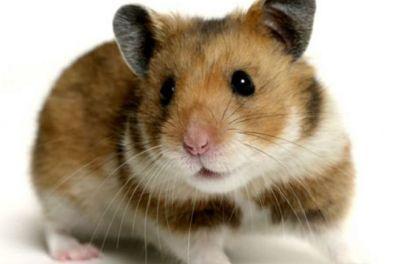 Imagini pentru hamster