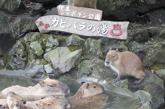 capybara hot springs japan