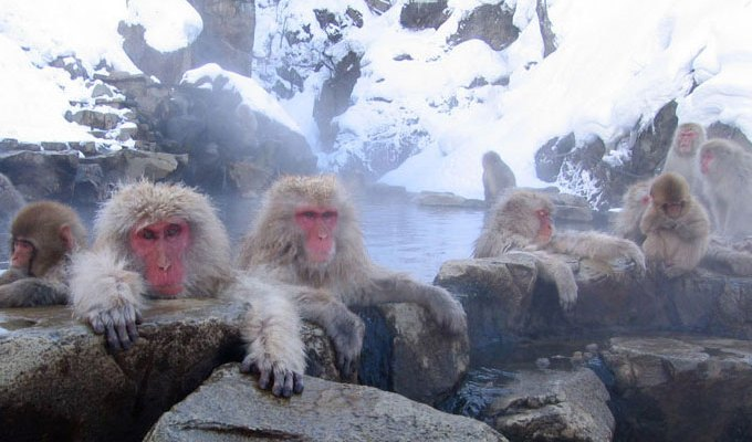 Snow monkeys Japan – they soak in hot springs!