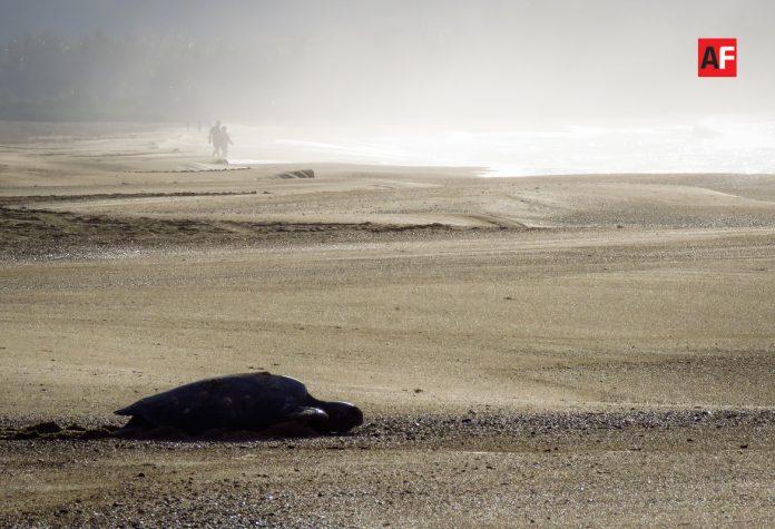 tortuga mar 1 696x475 - Invitan a participar en conferencia virtual sobre las tortugas marinas