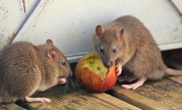 brown-rats-eating