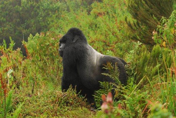Gorilla di montagna nel Parco nazionale Kahuzi-Biega, Congo-K