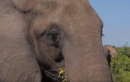 Elefante delle foreste in Botswana (Courtesy The Giant Club)