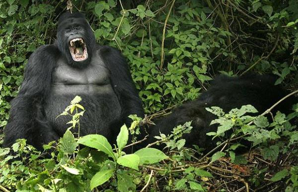 Gorilla della montagna nel Parco nazionale Virunga, RDC