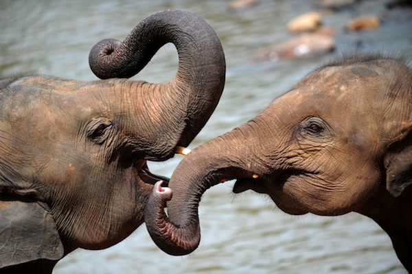 Cuccioli di elefante giocano