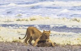 Uno dei leoni della Skeleton Coast (Foto Courtesy © Philip Stander)