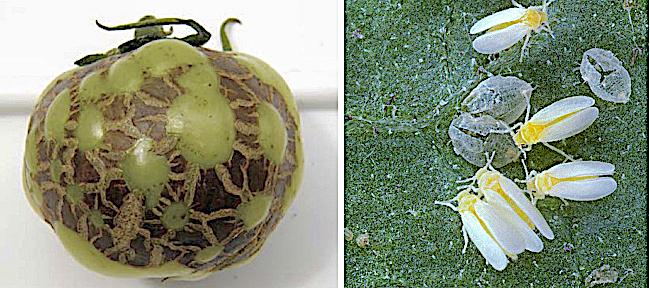 Un pomodoro colpito da torradovirus, portato dalla mosca bianca, tra gli insetti dannosi per gli ortaggi