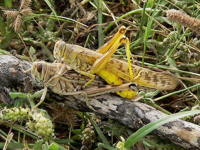 Accoppiamento di locuste del deserto (Schistocerca gregaria)