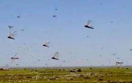 Locuste in volo cambiamenti climatici