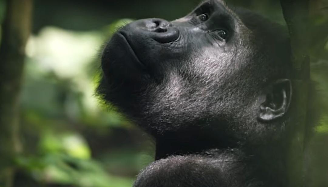 I gorilla sono a rischio a causa del Covid-19?
