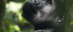Gorilla rischiano di essere colpiti da Covid-19 (Coronavirus)