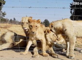 Cuccioli in cattività in un allevamento di leoni (Courtesy Lord Ashcroft/Lord Ashcroft on Wildlife)