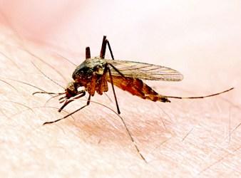 vaccino RNA La zanzara anofele, insetto che veicola la malaria