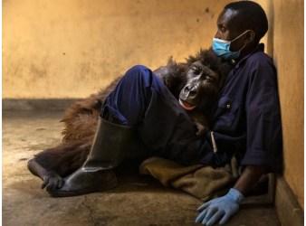 gorilla Ndakasi e André Bauma1