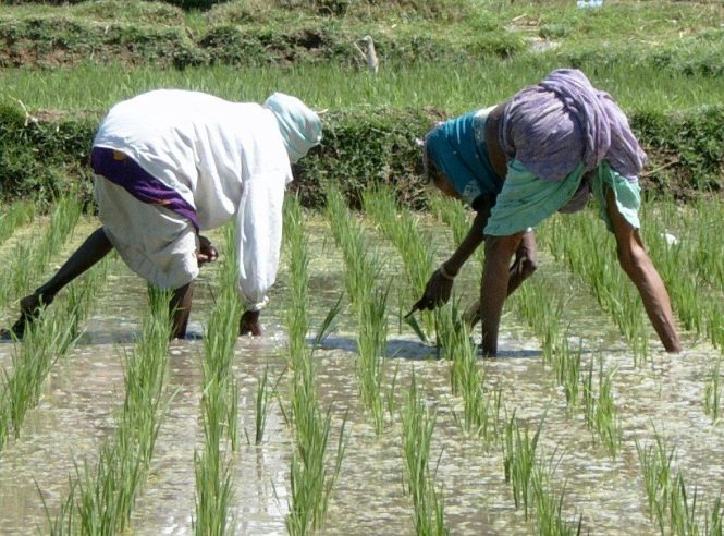 Rice farming in Nigeria