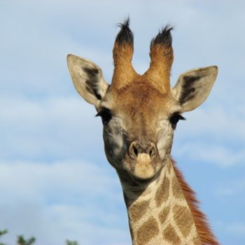 An inquisitive Female Giraffe staring at the camera