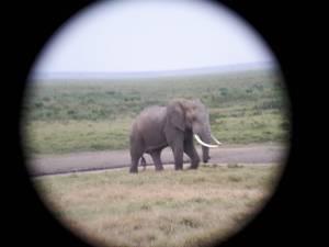 Lobe Elephant Bull