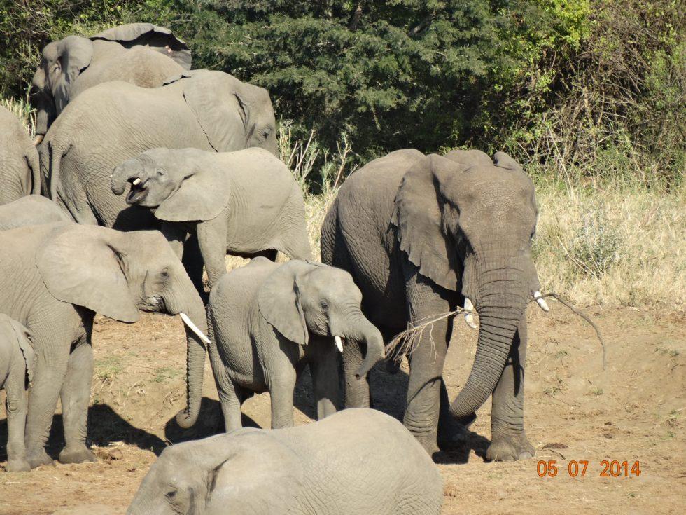 Breeding herd of Elephant feeding in Botswana