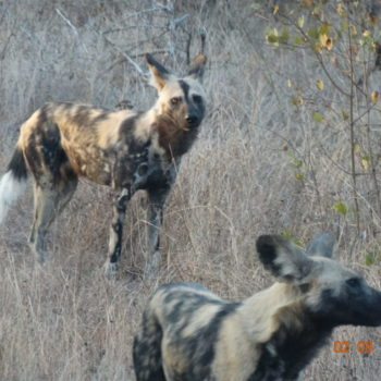 African Painted Dogs in Kruger National Park