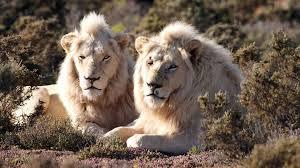 Free Roaming White Lions