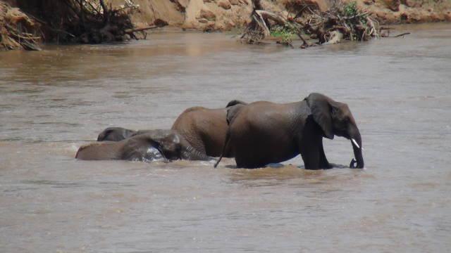 Elephant having a bath and some fun in the Ewaso Ngiro River, Samburu National Park
