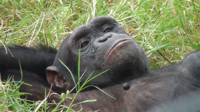 Chimpanzee at the enclosure at Sweetwaters Reserve, Kenya.