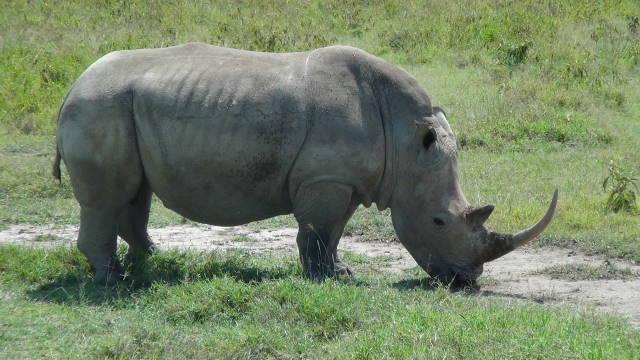 White Rhino grazing in HluHluwe National Park