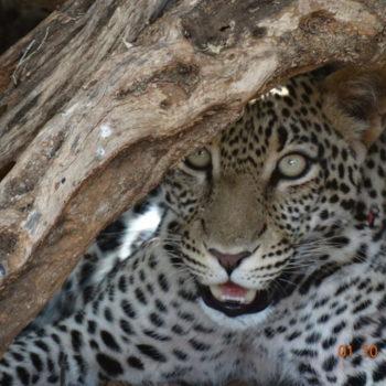 Female Leopard in Samburu