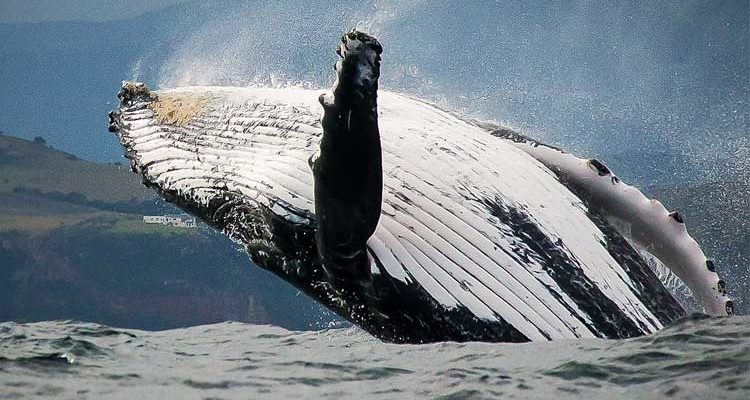 Breaching Southern Right Whale.