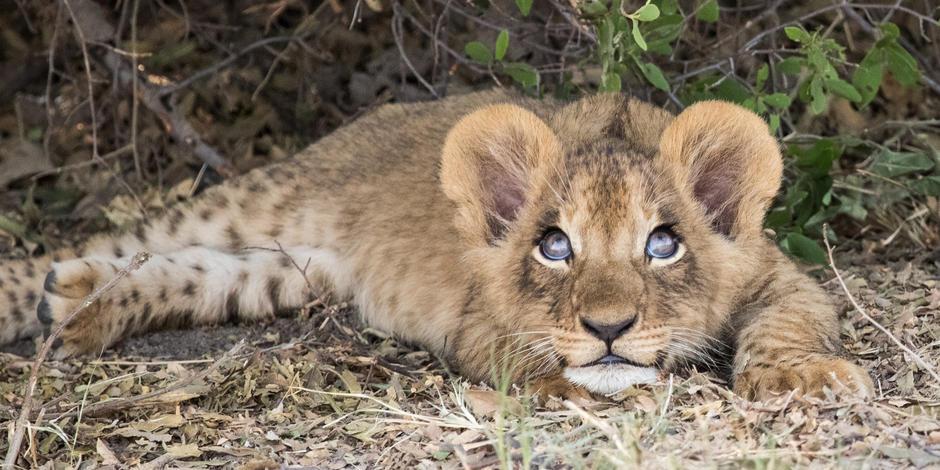A young Lion cub lying uder the bush on Duba Plains Conservancy