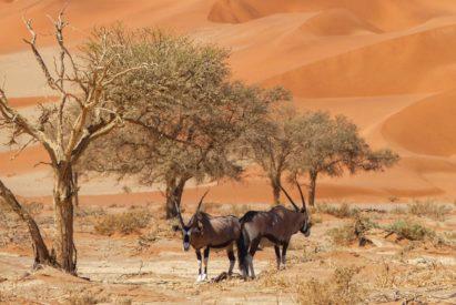 Oryx at Sossusvlei