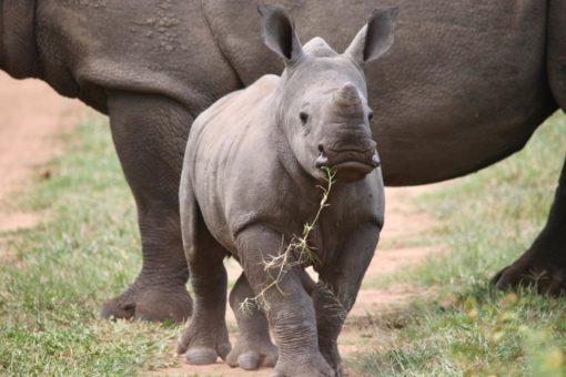 SOUTH AFRICA 4 . Karongwe Game Reserve - Baby Rhino