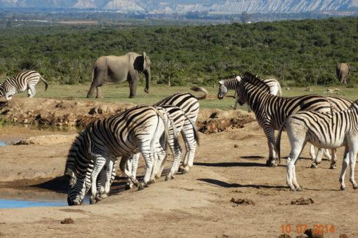 SOUTH AFRICA 8 . Addo Elephant Park