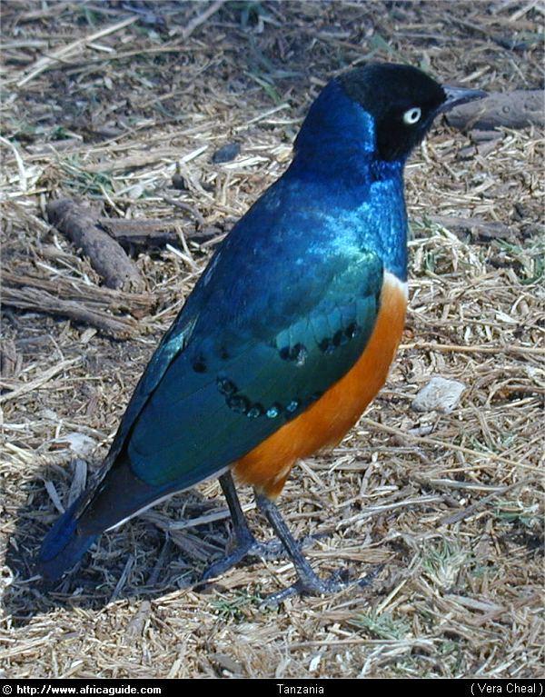 Superb starling... No sé si veiem aquests o el Hildebrandt starling!